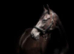Horse Portrait, Equine Photographer