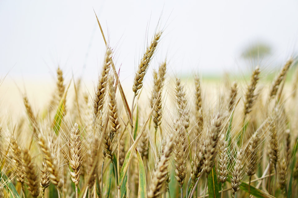 agriculture-arable-barley-close-up-26527