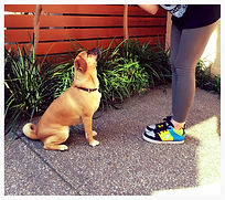 Basic Manners Puppy Dog Training Adelaide