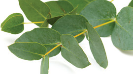 About Eucalyptus Oil