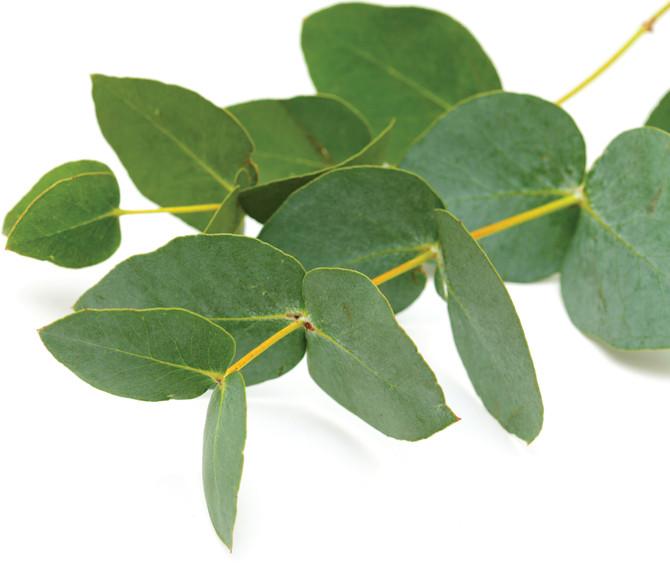About Eucalyptus Oil