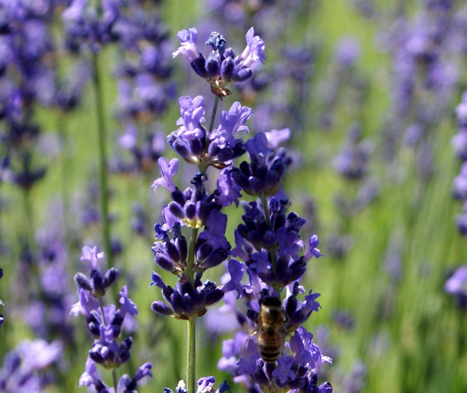 About Lavender Oil