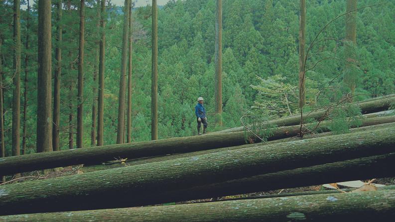 天竜杉/月齢伐採木