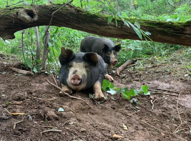 pigs4.jpg