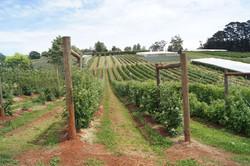 Blue Hills Berry Picking