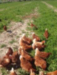 tavuk satışı