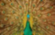 peacock-3098451.jpg