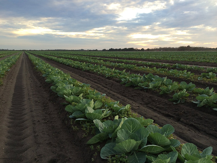 Options To Plastic Mulch In Vegetable Production