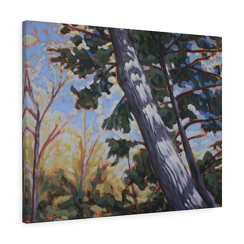 Escarpment Pine