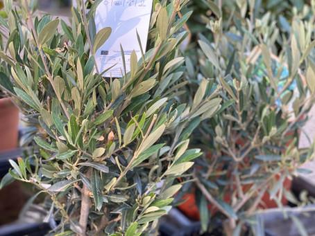 El olivo: símbolo cultural y belleza decorativa
