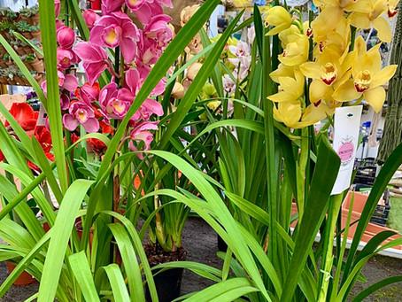Vamos a hablar de la orquídea Cymbidium