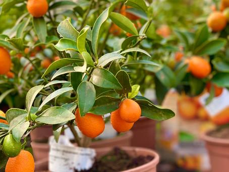 El primo pequeño del naranjo: el kumquat