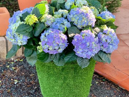 El color de la hortensia
