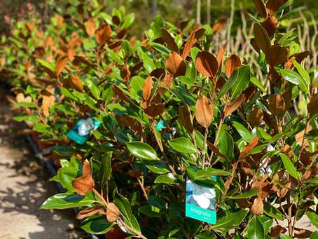 Algunos apuntes sobre las magnolias