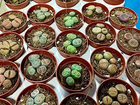 La belleza de las plantas piedras