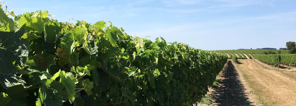 IMG_0672. Vines lines 2jpg.jpg