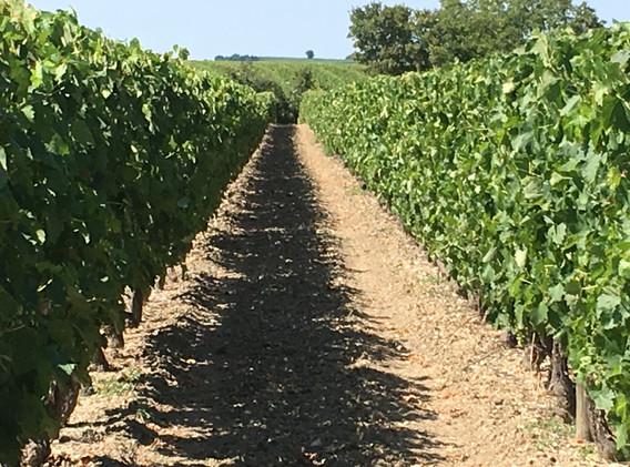 IMG_0665 Vines row.jpg