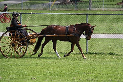 56 - Single Horse Dressage - Prelim