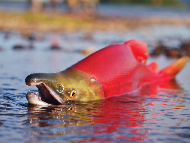 Salmon on the Move