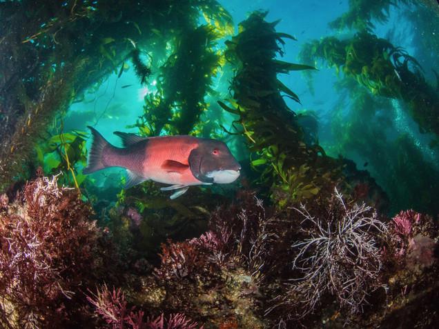 Kelp Forest Scene