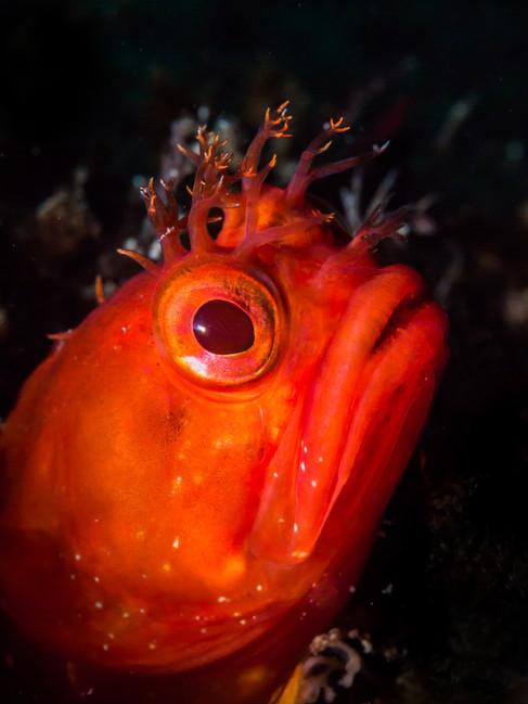 Yellowfin Fringehead