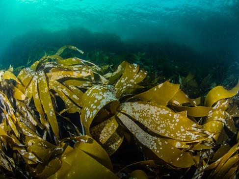 Arctic Kelp
