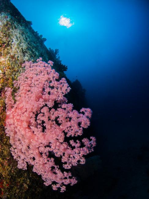 Mauritian Coral