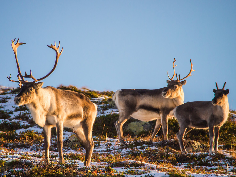 Finnish reindeer in the heart of Lapland