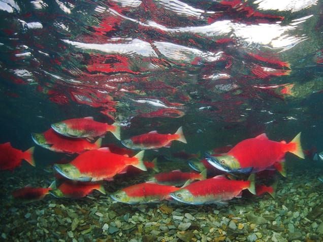 Iliamna Salmon