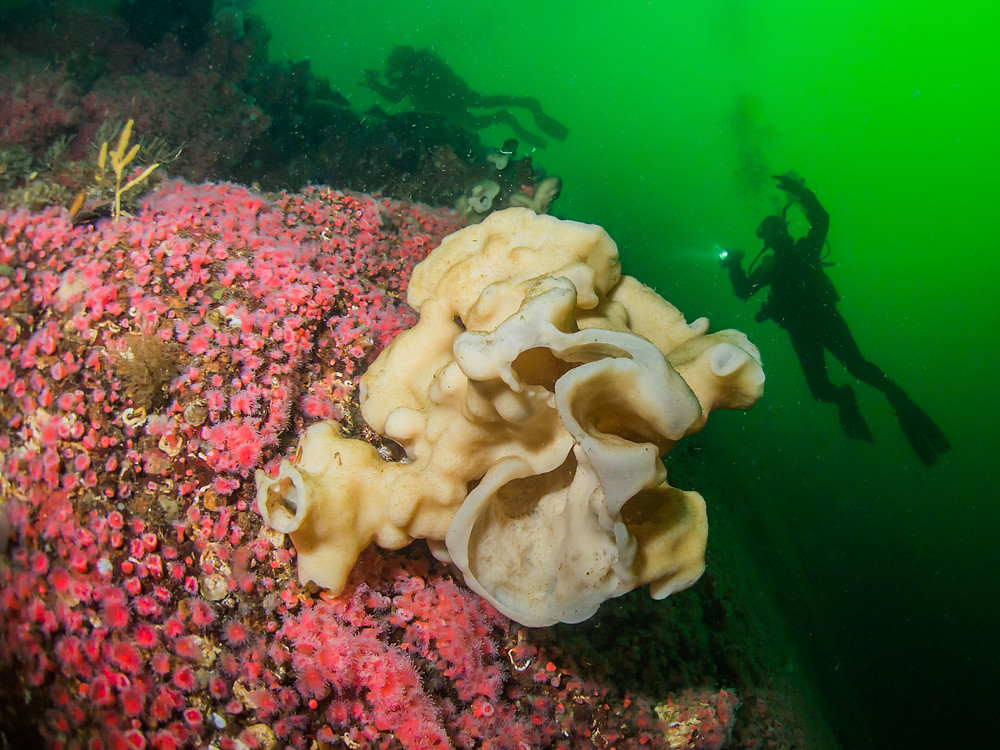 Ancient cloud sponges and beautiful strawberry anemones dot the underwater landscape of the Nootka Sound