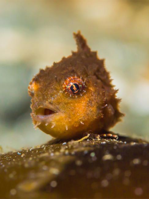 Pacific Spiny Lumpsucker