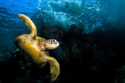 Maui Green Sea Turtle