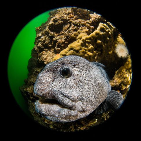 Wolf Eel Portrait