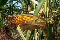 corn-4562086_1280.jpg