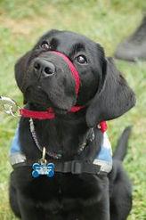 Lab-Service-Dog-186x280.jpg