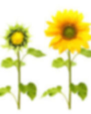 flourish sunflowers.jpeg