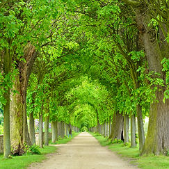 Tunnel-like Avenue of Linden Trees, Tree