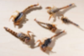 manchurian-scorpions-6-pack.jpg