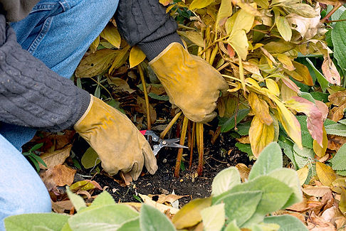 Fall-cleanup-peony.jpeg