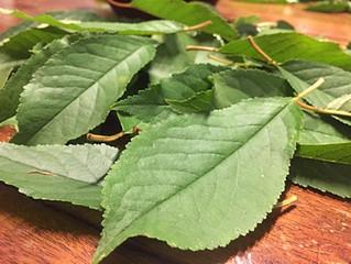 CENTO FOGLIE DI AMARENA                 sciroppo di foglie