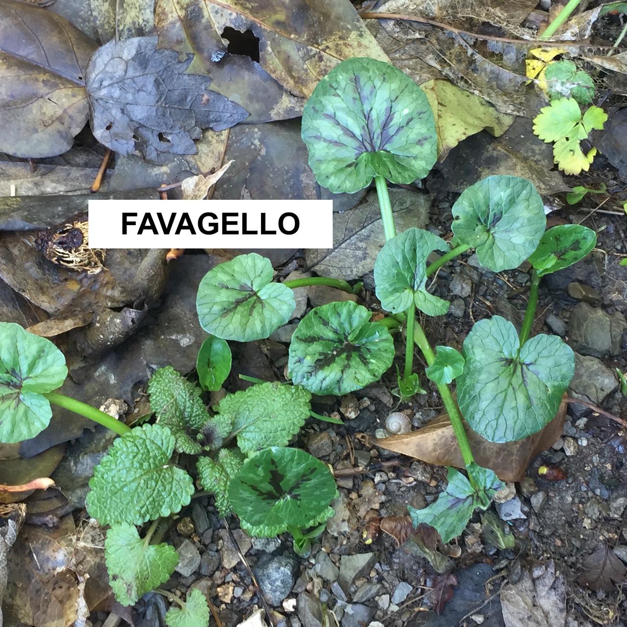 FAVAGELLO