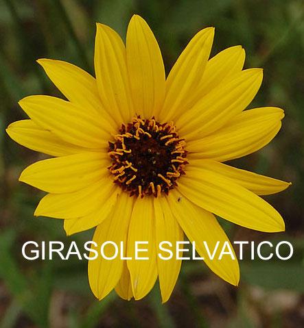 stiff-sunflower_0817_101320