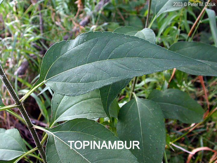 helianthus-tuberosus-9_edited