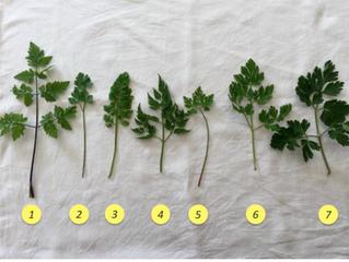 LE MIE ERBETTE SOSPETTE,                del perché non raccolgo alcune piante e come non confonderle
