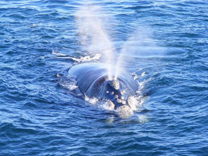 balenafrancabuff_patagonia