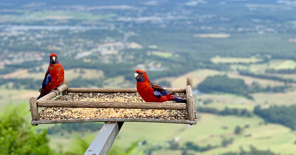Parrots in front of the stunning scenery at the Cambewarra Mountain Lookout.