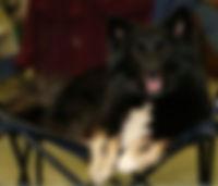 Islandhund_Njala.jpg