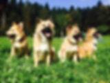 Islandhunde_A-Wurf.jpg