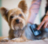 how-to-groom-a-yorkie-at-home.jpg