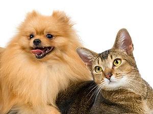 Spitz Tedeso e Gatto